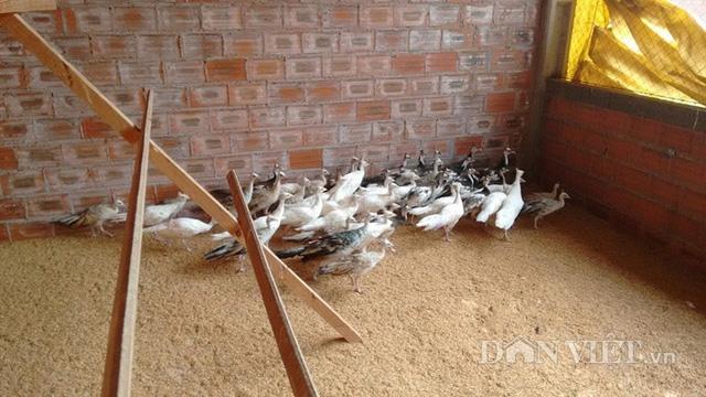 Trang trại chim công của anh Quỳnh là một trong những trang trại chim công lớn nhất, nhì miền Bắc, hiện đang nuôi nhiều loại chim công quý hiếm.