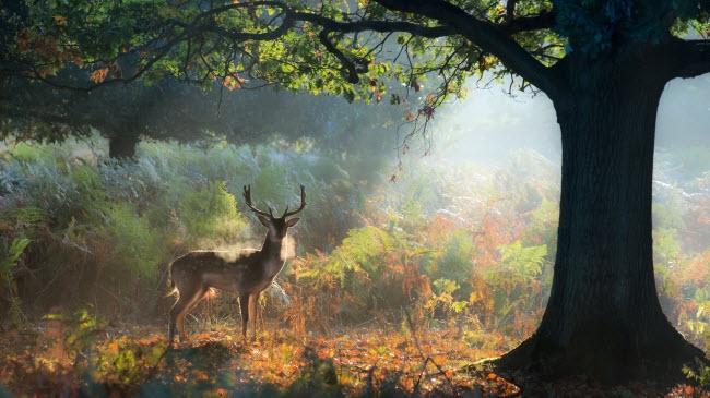 Hươu đực đứng dưới nắng sớm mùa thu khi lá cây chuyển màu vàng và bắt đầu rụng trong công viên Richmond ở London, Anh.