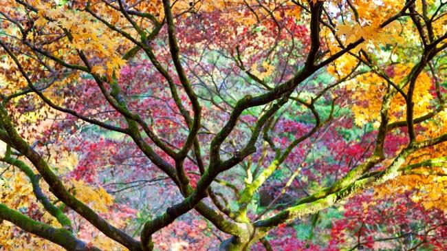 Lá cây bắt đầu chuyển từ màu xanh sang màu cam và đỏ, trông như một bức tranh nhiều màu sắc trong rừng Westonbirt Arboretum, ở vùng Gloucestershire, Anh.