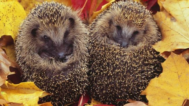 Cặp nhím con nằm cuộm mình trong thảm lá mùa thu tại công viên Saxony ở Đức.