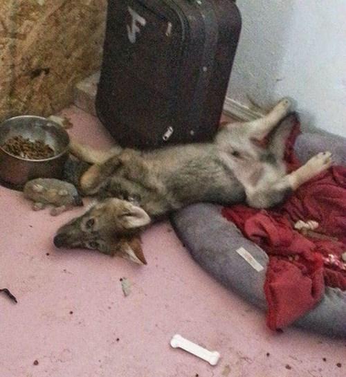 Hy hữu chuyện chó nhà nuôi vài năm hóa... chó sói - ảnh 1