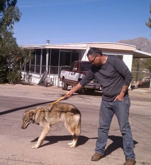 Hy hữu chuyện chó nhà nuôi vài năm hóa... chó sói - ảnh 3