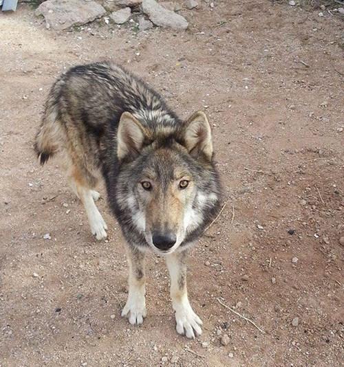 Hy hữu chuyện chó nhà nuôi vài năm hóa... chó sói - ảnh 4