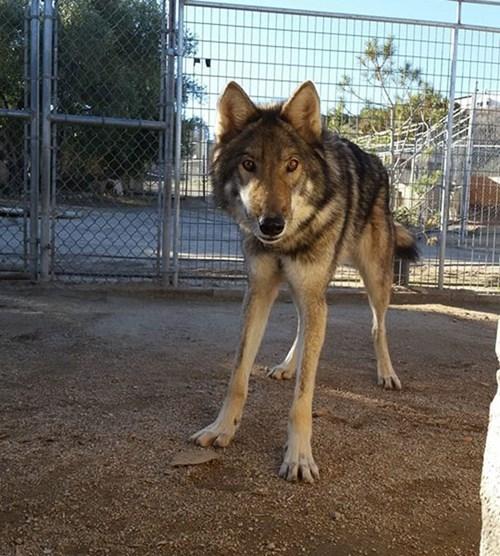 Hy hữu chuyện chó nhà nuôi vài năm hóa... chó sói - ảnh 5