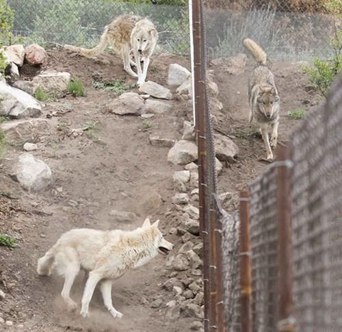 Hy hữu chuyện chó nhà nuôi vài năm hóa... chó sói - ảnh 7