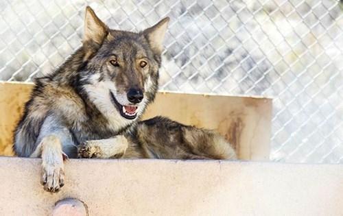 Hy hữu chuyện chó nhà nuôi vài năm hóa... chó sói - ảnh 8