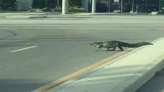 Cá sấu nhởn nhơ đi lại trên đường phố sau cơn bão mặt quỷ ở Mỹ - Ảnh 2.