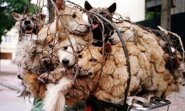 thịt chó, người việt ăn thịt chó, người việt ăn thịt chó nhiều thứ 2 thế giới, người việt ăn 5 triệu con chó