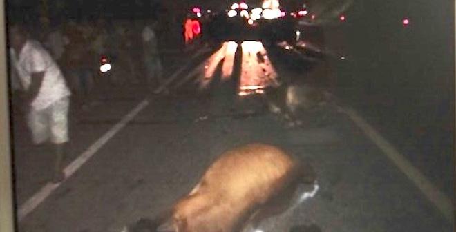 Tài xế bị dọa giết vì tông chết đàn bò
