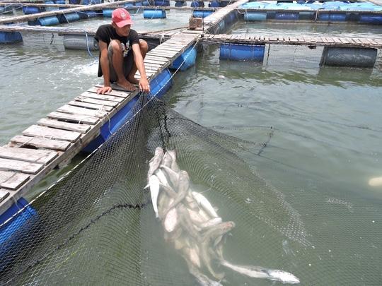 Có một số hộ thiệt hại 100% số cá nuôi