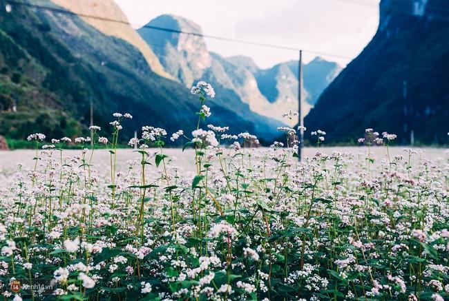 Ngắm mùa hoa tam giác mạch đẹp mê mải về ở Hà Giang - Ảnh 1.