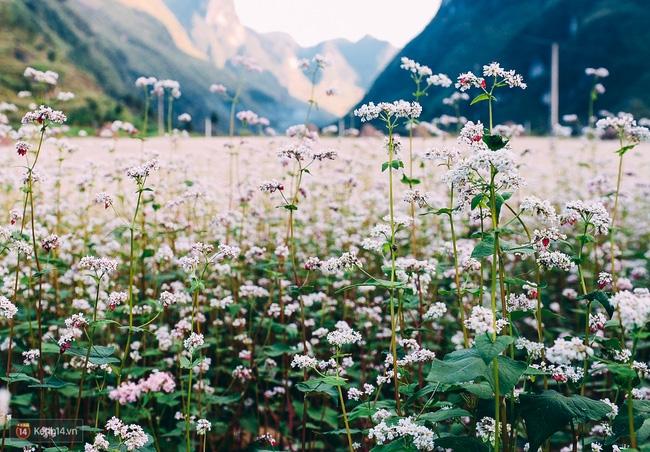 Ngắm mùa hoa tam giác mạch đẹp mê mải về ở Hà Giang - Ảnh 2.