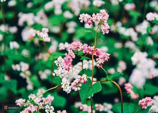 Ngắm mùa hoa tam giác mạch đẹp mê mải về ở Hà Giang - Ảnh 4.