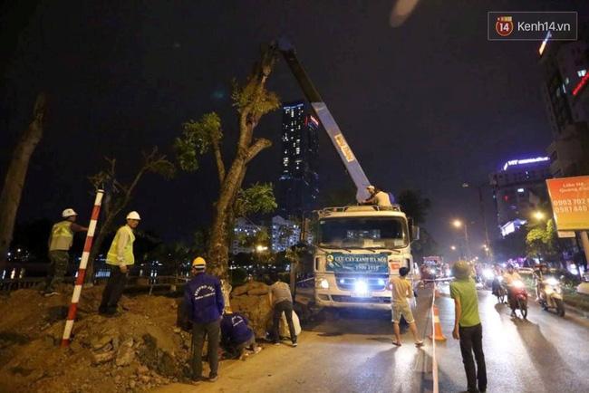 Công nhân trắng đêm di dời hàng cây xà cừ trên đường Kim Mã - Ảnh 2.