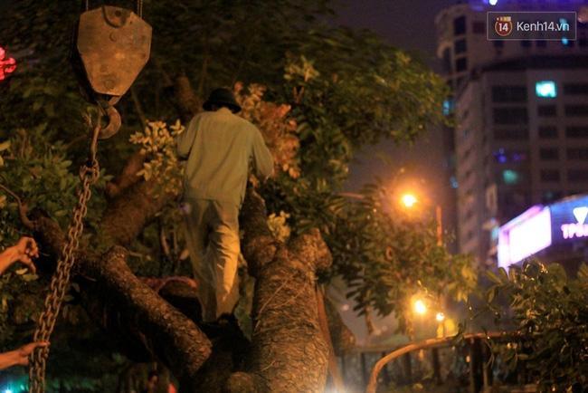 Công nhân trắng đêm di dời hàng cây xà cừ trên đường Kim Mã - Ảnh 4.