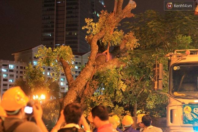 Công nhân trắng đêm di dời hàng cây xà cừ trên đường Kim Mã - Ảnh 5.