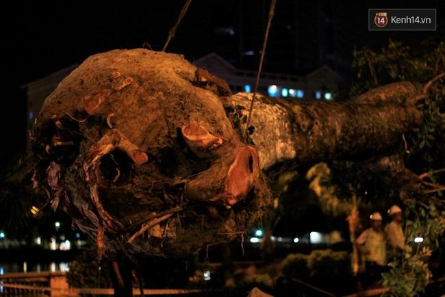 Công nhân trắng đêm di dời hàng cây xà cừ trên đường Kim Mã - Ảnh 10.