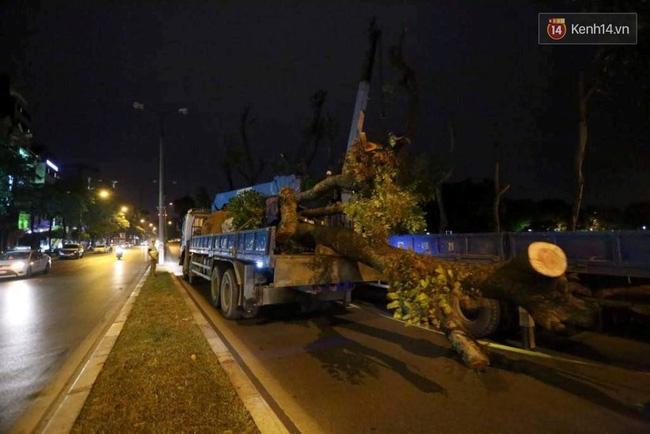 Công nhân trắng đêm di dời hàng cây xà cừ trên đường Kim Mã - Ảnh 13.