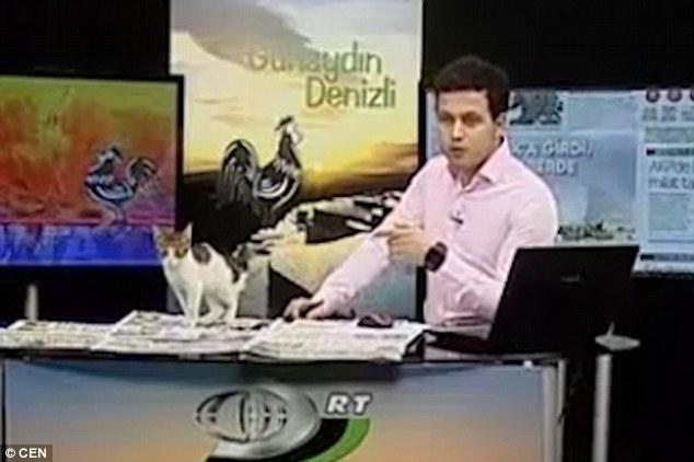 Anh Kudret Çelebioğlu đang đọc bản tin thì một chú mèo lạc bất ngờ nhảy lên mặt bàn và lọt vào khuôn hình đang phát đi trực tiếp.