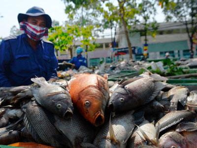Quá nhiều cá rô phi trên kênh Nhiêu Lộc - Thị Nghè