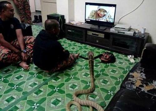 Chàng trai Thái sống hạnh phúc với vợ là... rắn hổ mang ảnh 3