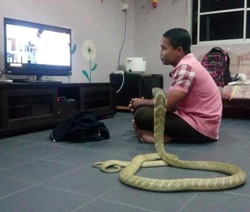 Chàng trai Thái sống hạnh phúc với vợ là... rắn hổ mang ảnh 6
