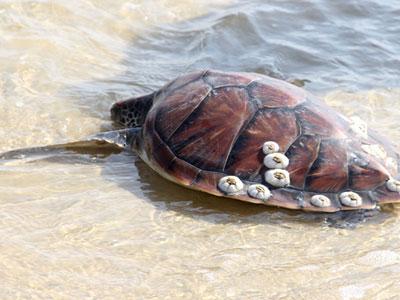Rùa biển cực quý hiếm nặng 5,5kg mắc lưới được ngư dân thả