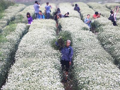Vườn đào Nhật Tân tắc nghẽn vì dòng người ùn ùn đổ về chụp ảnh cúc họa mi