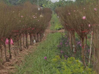 Đào Nhật Tân bung nở rực rỡ từ vườn ra phố đón Tết sớm