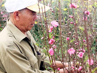 Nắng nóng, chưa đến Tết đào Nhật Tân đã nở đỏ ruộng khiến nông dân buồn bã chặt bỏ, bán với giá bèo