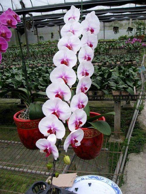 Chậu lan loại dài từ 25-30 bông với giá dao động từ 8-10 triệu đồng. Đặc biệt, một bông lan có kích thước to bằng 2 bàn tay