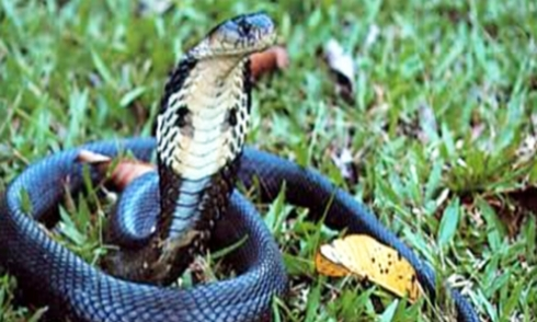 Nhóm người lạ mang 10 bao rắn độc về miền Tây thả cầu may