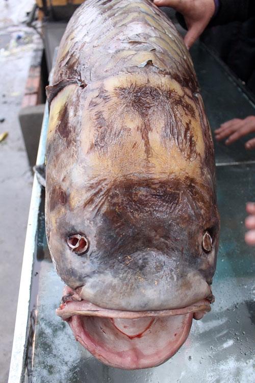 """Chi 140 triệu, """"rước"""" cá hô khủng từ Campuchia về HN - 5"""