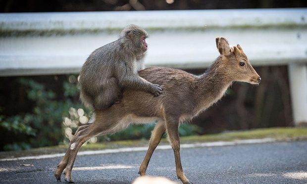 """Bắt gặp khỉ định làm """"chuyện ấy"""" với hươu ở Nhật - 1"""