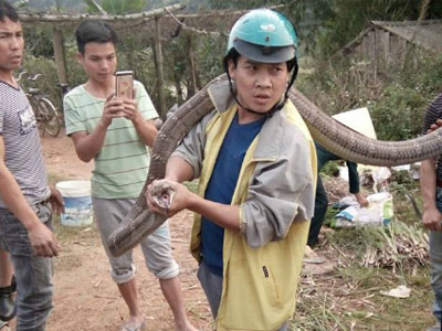 Bắt sống rắn hổ mang chúa khổng lồ ở Phú Thọ