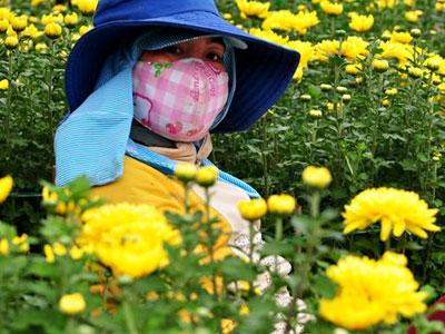 Hoa Tết ế ẩm, nông dân Quảng Ngãi