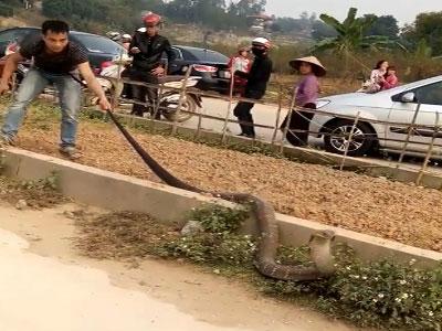 Rắn hổ mang khổng lồ ở Phú Thọ có tên trong sách đỏ