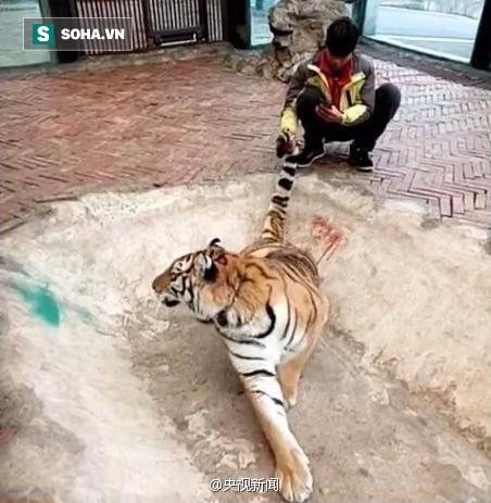 Clip: Nam thanh niên đùa giỡn với hổ, dư luận sục sôi phản ứng - Ảnh 2.
