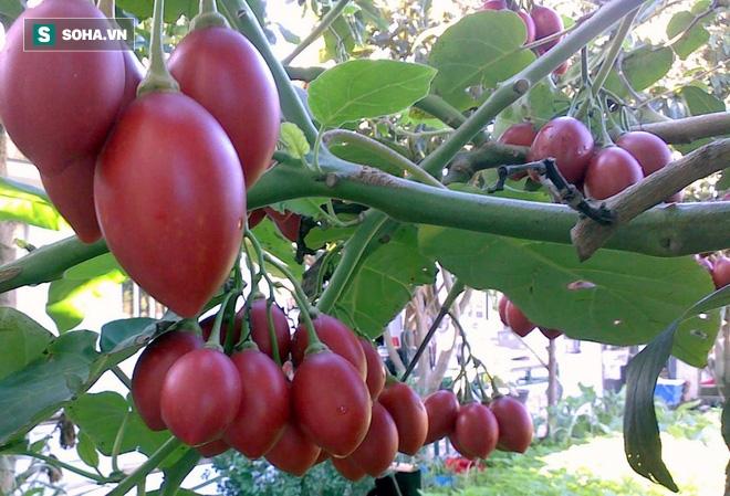 Cà chua giá 1 triệu đồng/kg gây sốt: Có gì bổ dưỡng mà giá cao ngất ngưởng? - Ảnh 1.