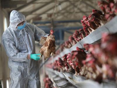 Gần 90 người chết trong dịch cúm gia cầm ở Trung Quốc