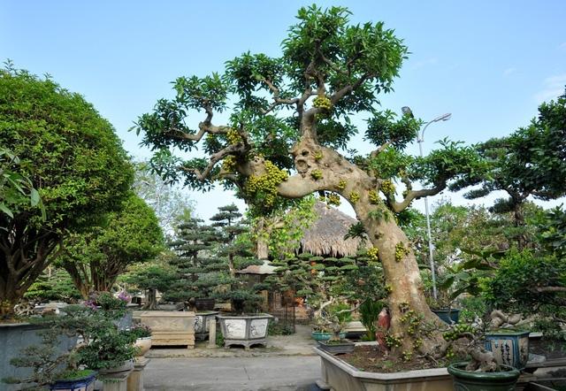 Vườn cảnh tiền tỷ của lão nông chơi cây nổi tiếng Hà thành - 3
