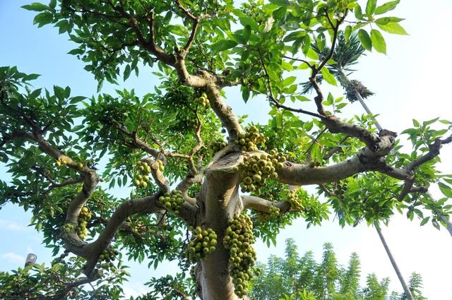 Vườn cảnh tiền tỷ của lão nông chơi cây nổi tiếng Hà thành - 4