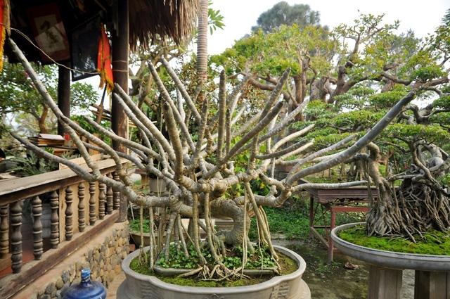 Vườn cảnh tiền tỷ của lão nông chơi cây nổi tiếng Hà thành - 5