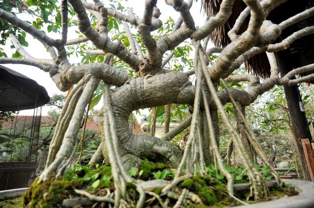 Vườn cảnh tiền tỷ của lão nông chơi cây nổi tiếng Hà thành - 6