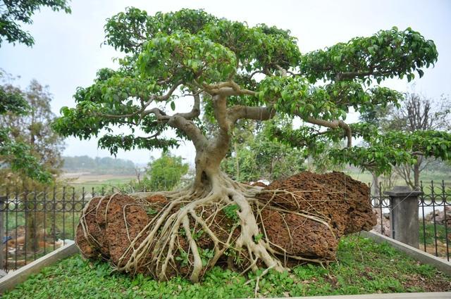 Vườn cảnh tiền tỷ của lão nông chơi cây nổi tiếng Hà thành - 10