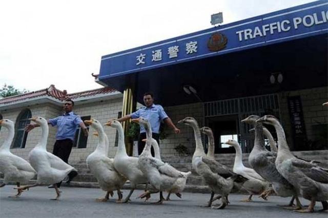 Ở một số vùng tại Trung Quốc, cảnh sát dùng ngỗng để thay thế chó nghiệp vụ. Họ cho rằng, loài gia cầm này có tầm nhìn tốt hơn chó.