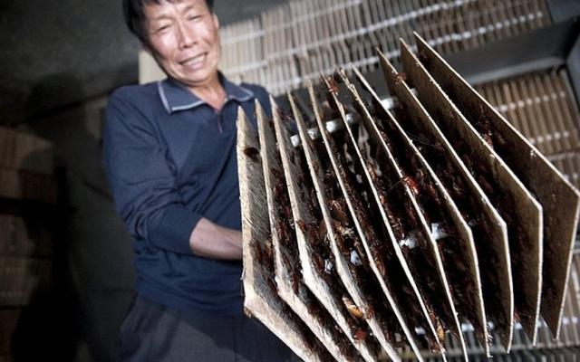 Trang trại nuôi gián. Những con côn trùng này được nuôi dưỡng và sử dụng trong đông y Trung Quốc như một vị thuốc. Ở đây cũng xuất hiện những trang trại nuôi gián.