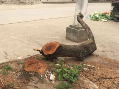 Yêu cầu xã báo cáo gấp việc hàng loạt cây xanh bị chặt sau đợt ra quân