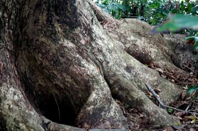 Hình thù gốc cây sưa tạo nhiều hang hốc rất ấn tượng