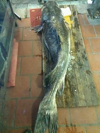 """""""Thủy quái"""" sông Mê Kông nặng 112kg xuất hiện ở Hà Nội - 1"""
